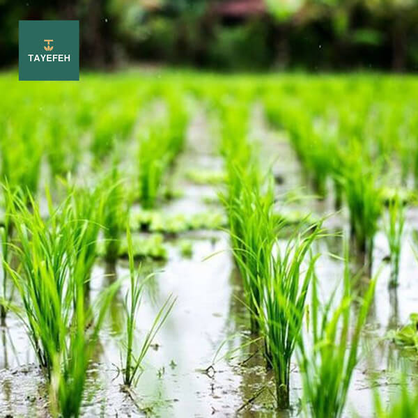 Disadvantages of the second crop of rice