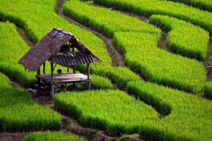 Rice cultivation place