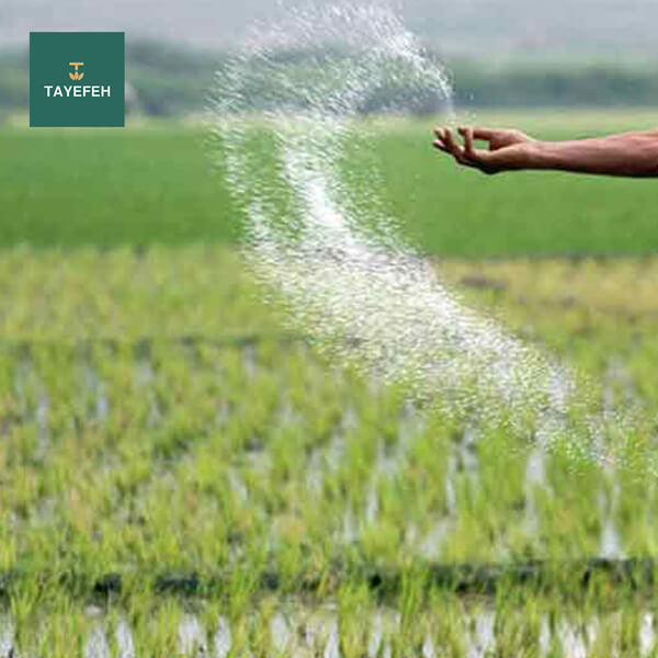 Time of application of silica fertilizer for rice